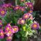 Primula_a_viragoskertben_2067638_9273_s