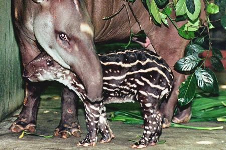 tapírkölyök