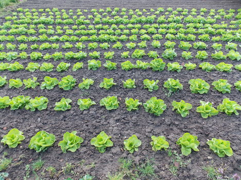 Áttelelő saláták