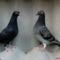 Fiatal galambok