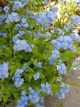 Kinyílt a kék nefelejcs virága...Dáma Lovag Erdős Anna verse.