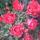 Rácz Icus virágai