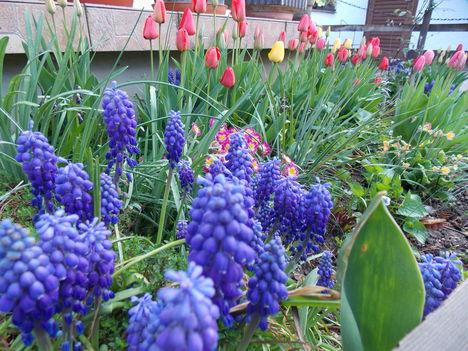 Tavaszi virágok a terasz előtt.