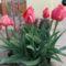 Tulipan_a_bejarati_lepcso_mellett_2068039_6200_s
