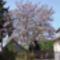 A császárfa májusban az udvarom dísze.