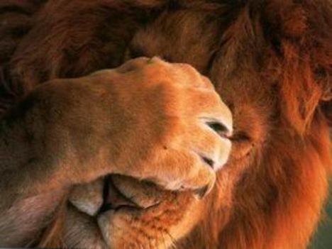 A szégyenlős oroszlán