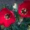 Pipacsok helyett tulipánokXD