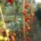 Zöldséges kert paradicsomkordonnal...