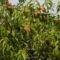 Korai őszibarack fa