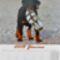 Rottweiler__junius_2071458_5849_s