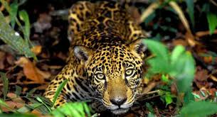 Amazonas 12
