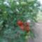 Pirosodik_a_paradicsom_2073999_6397_s