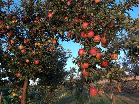 Gyümölcscukor és  cukorbetegség / inkább gyümölcsöt fogyasszunk mint gyümölcscukrot! /