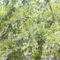 Besztercei szílvafa