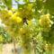 Csemege szőlő