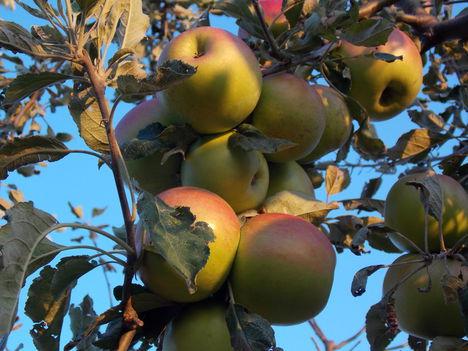 Inkább gyümölcsöt fogyasszunk mint gyümölcscukrot!