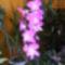 Dendrobium Orchidea / 2 virágzása/