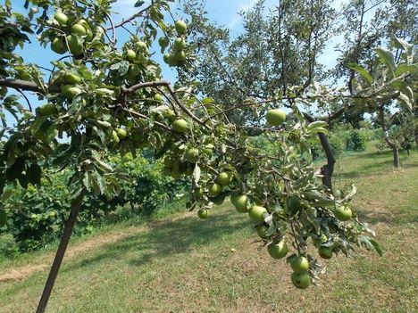 Megtámasztott almafa ág