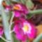 Miltonia orchidea / 2. virágzás/