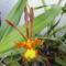 Psychopsis mariposa teljes nyílásban