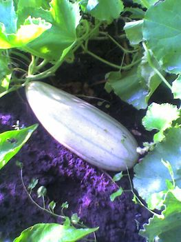 Banán uborka - Cucumis melo 'banana'