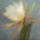 Epiphyllum_hibrid-001_278656_67955_t