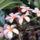 Frangipani_flowers_278806_57842_t