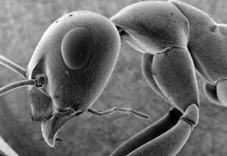 hangya az elektronmikroszkóp alatt
