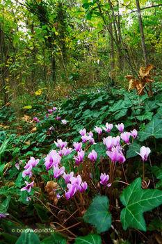 Nyílik még a ciklámen virága. Dáma Lovag Erdős Anna verse.