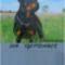 Rottweiler____szeptember_2078447_4511_s