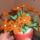 narancssárga virág
