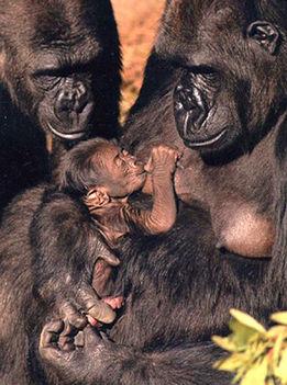 Gorilla család