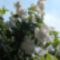 Gyöngyvirág cserje