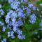 Kék nefelejcsek