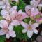 királyliliom teljes virágzásban