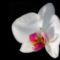orchidea1