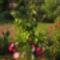 Páfrányfenyő  ( Ginkó biloba )