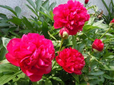 Pünkösd virága