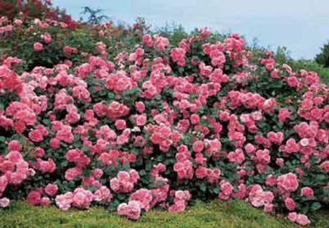 rózsák 1