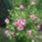 Rózsaszínű mályvacserje