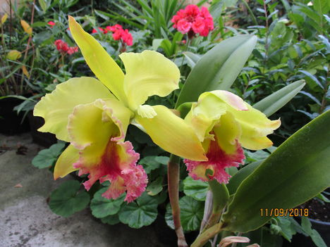 BLC 'Dragon King' 6