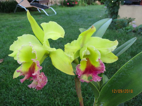 BLC 'Dragon King' 7