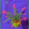Karacsonyi_kaktusz-002_2082774_9830_s