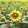 Sárvári Gyuláné  -  Virág, a nyárban!