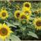 Virág, a nyárban. 3