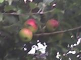 Az almák