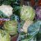 Karfiol_karalabe_2085301_2842_s