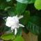 Gardenia  közelról