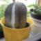 virágzó kaktuszom  + 3  bimbóval