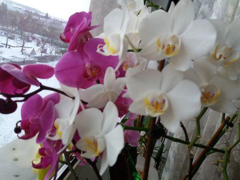 az orhideáim most virágoznak